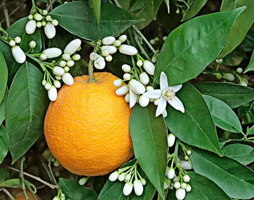 Цветы апельсин